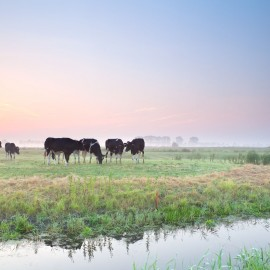 cattle on pasture at sunrise