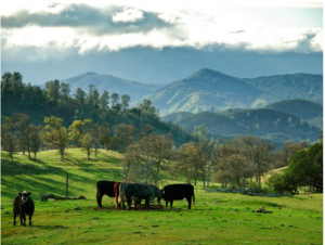 Cows pasture_image by Loren Kerns_flickr