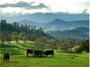 Cows pasture_image by Loren Kerns_flickr